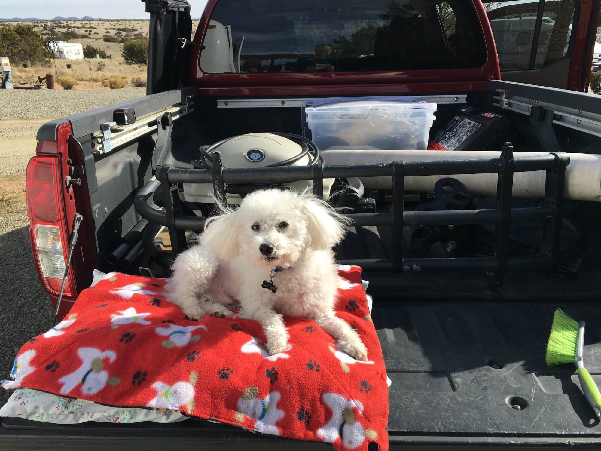 Bichon in Truck Bed